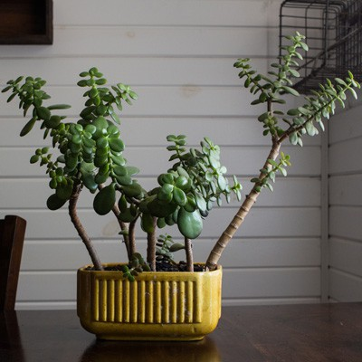 Jade Plant Before Transplant